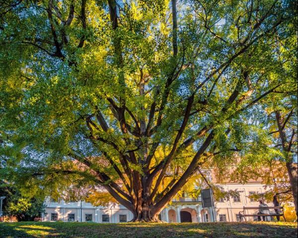 Ginko iz Daruvara natječe se za Europsko stablo godine! Evo gdje možete glasati